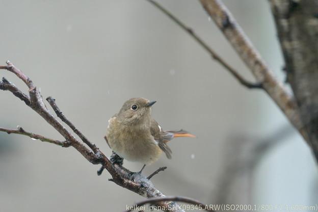 Photos: 庭に来たジョウビタキ(雌)