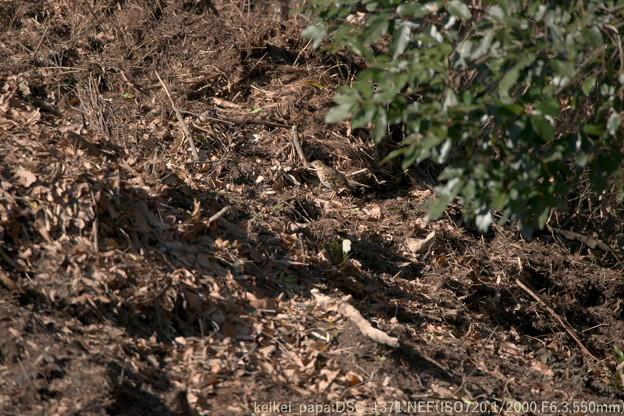 落葉の中のトラツグミ