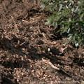 Photos: 落葉の中のトラツグミ