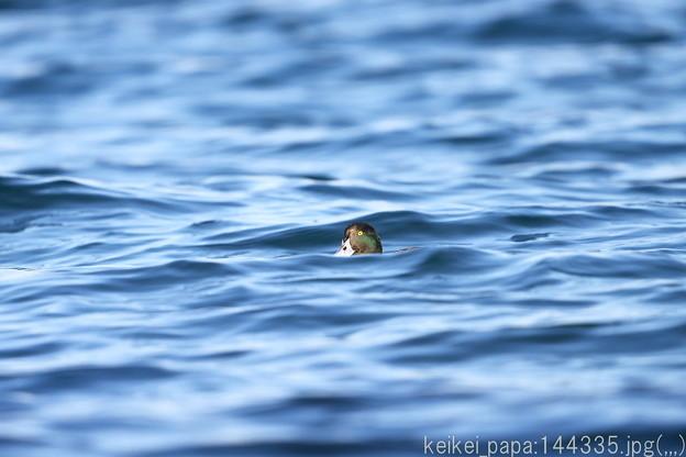 波間のキンクロハジロ