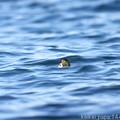 Photos: 波間のキンクロハジロ