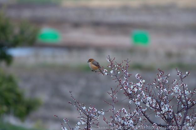 梅に百舌鳥