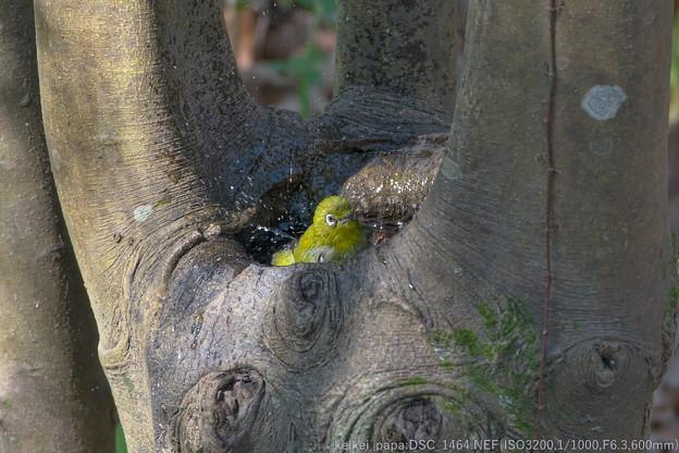 樹洞(木の洞【うろ】)のお風呂