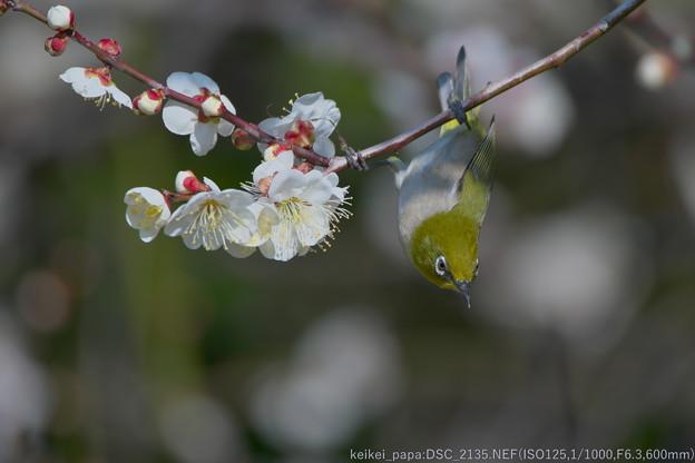 Photos: 白梅とメジロ