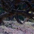 Photos: 種漬花 (たねつけばな)と柿老木