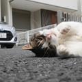 写真: 道路で寝転ぶ・・