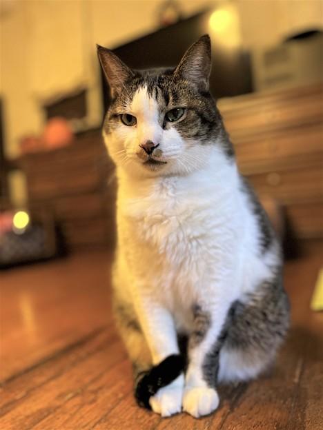 元気のない先住猫のぼー13歳
