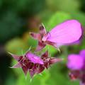 写真: pink meteor