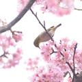 写真: 河津桜と