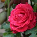 Photos: 濡れ薔薇