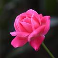 写真: 薔薇ちゃん