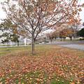 写真: 桜 紅葉
