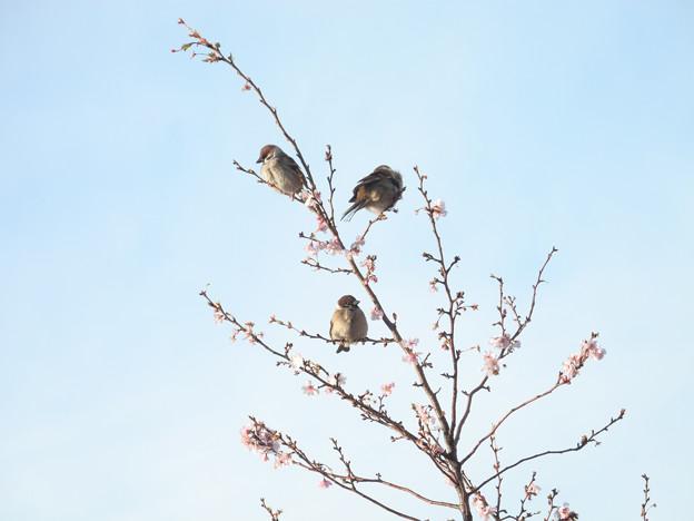 もこもこスズメと冬桜