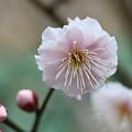 Photos: 八重咲