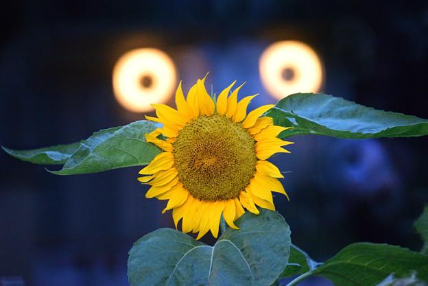 怪人 向日葵