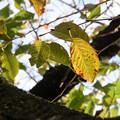 Photos: 桜 黄葉