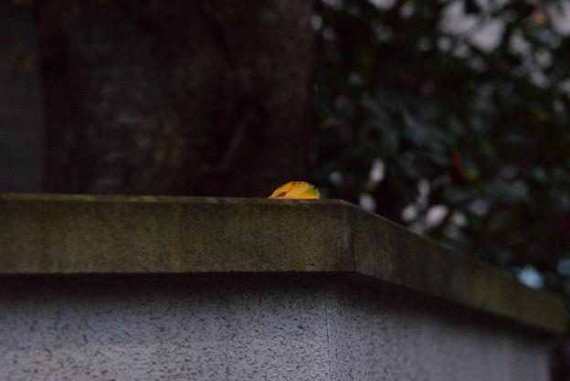 枯れ葉よ~♪