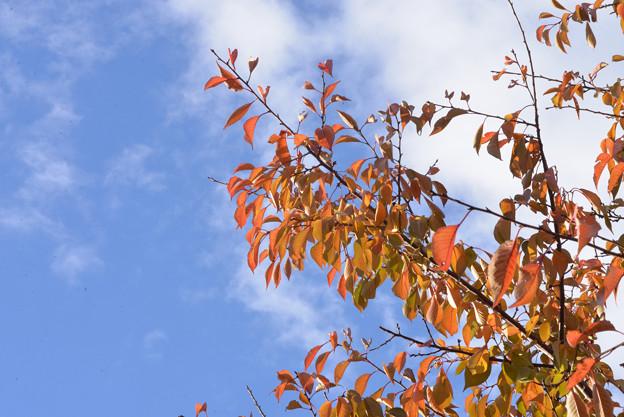 大島桜 黄葉