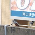 Photos: 駅にイソヒヨちゃん