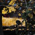黄葉散り始めて