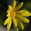 Photos: 黄色いお花