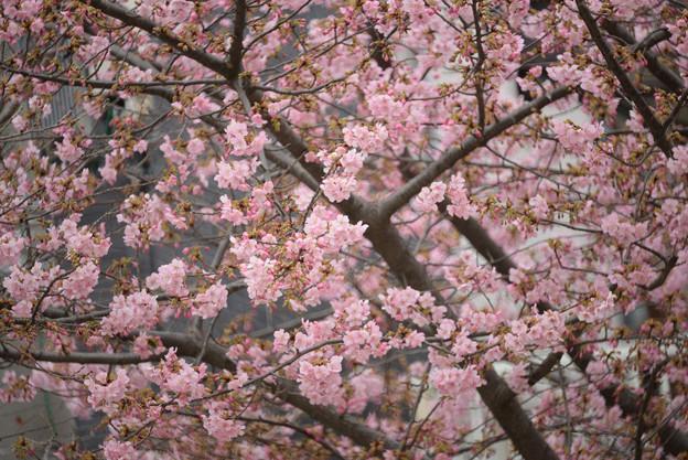 河津桜 曇り