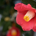 Photos: 咲いては