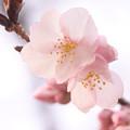 Photos: 大寒桜