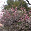 日比谷公園の梅ちゃん