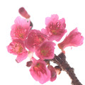 Photos: 寒緋桜