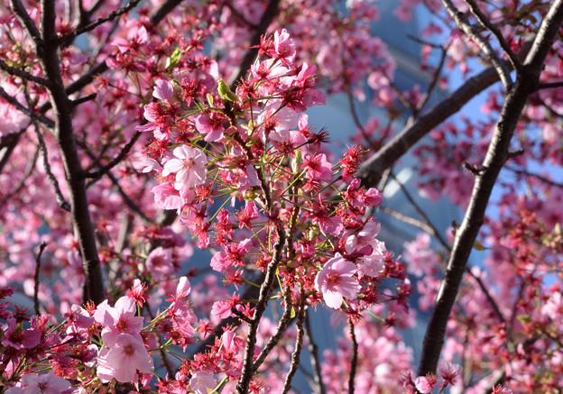 散っても赤き陽光桜