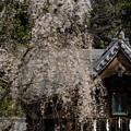 弘法寺の桜