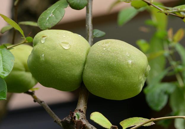木瓜の実?