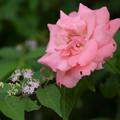 薔薇ちゃんと