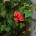 Photos: 赤いお花