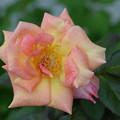 Photos: 薔薇ちゃん