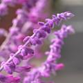 Photos: 紫色の花
