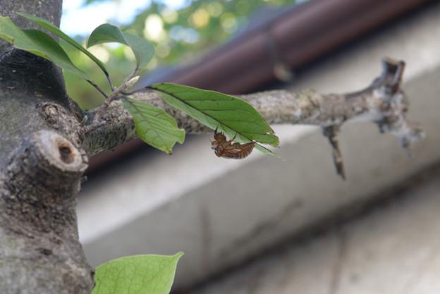 中秋の空蝉