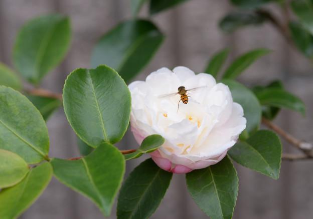 山茶花と虻ちゃん