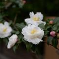 Photos: 山茶花