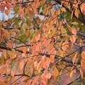Photos: 紅葉 大島桜