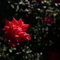 薔薇ちゃん