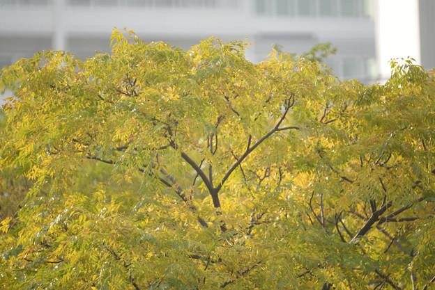 黄葉 栴檀