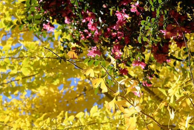 銀杏と山茶花