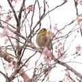 Photos: 冬桜とメジロ君