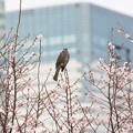 Photos: ヒヨちゃんと冬桜