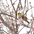 Photos: メジロ君と冬桜