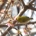 Photos: 桜のメジロ