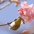 Photos: 河津桜とメジロ君
