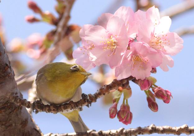 河津桜とメジロ君